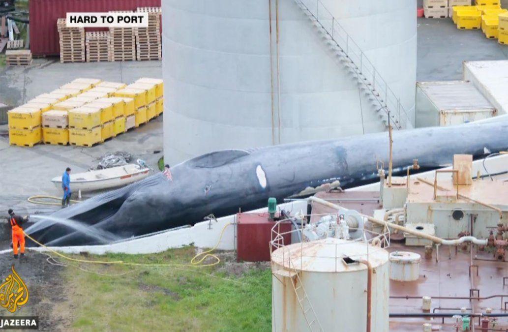 Acusan a empresa islandesa de haber cazado una ballena azul