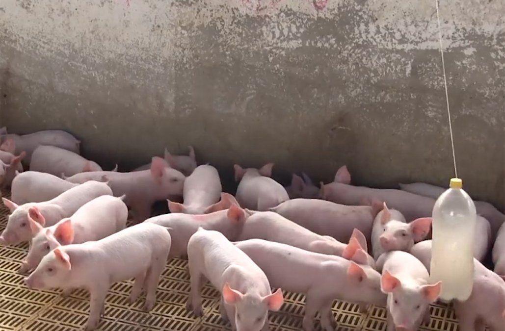 Hepatitis E: especialistas recomiendan evitar consumo de hígado de cerdo crudo