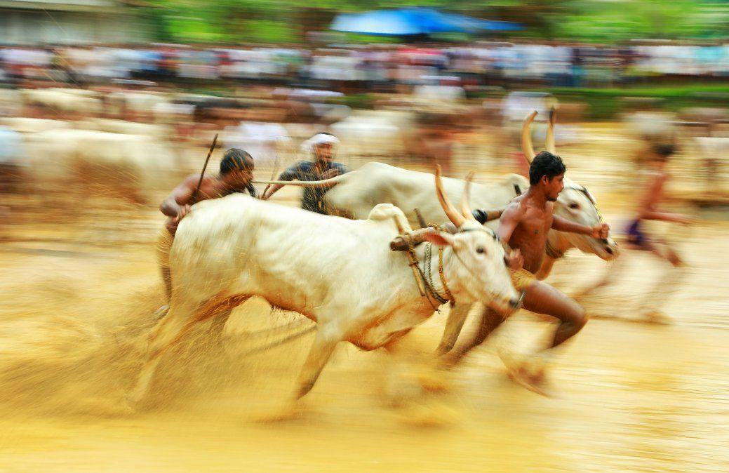 Hombres indios corren bueyes en un campo de arroz durante un festival en Kerala.