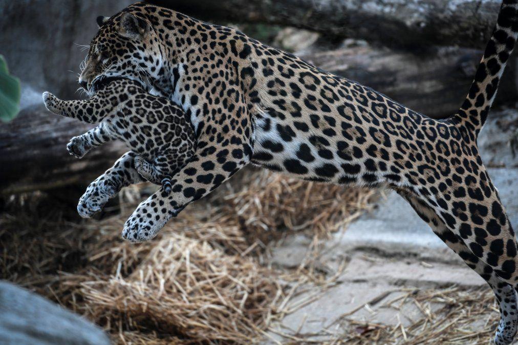 Un jaguar recién nacido aparece junto a su madre en el zoológico de París