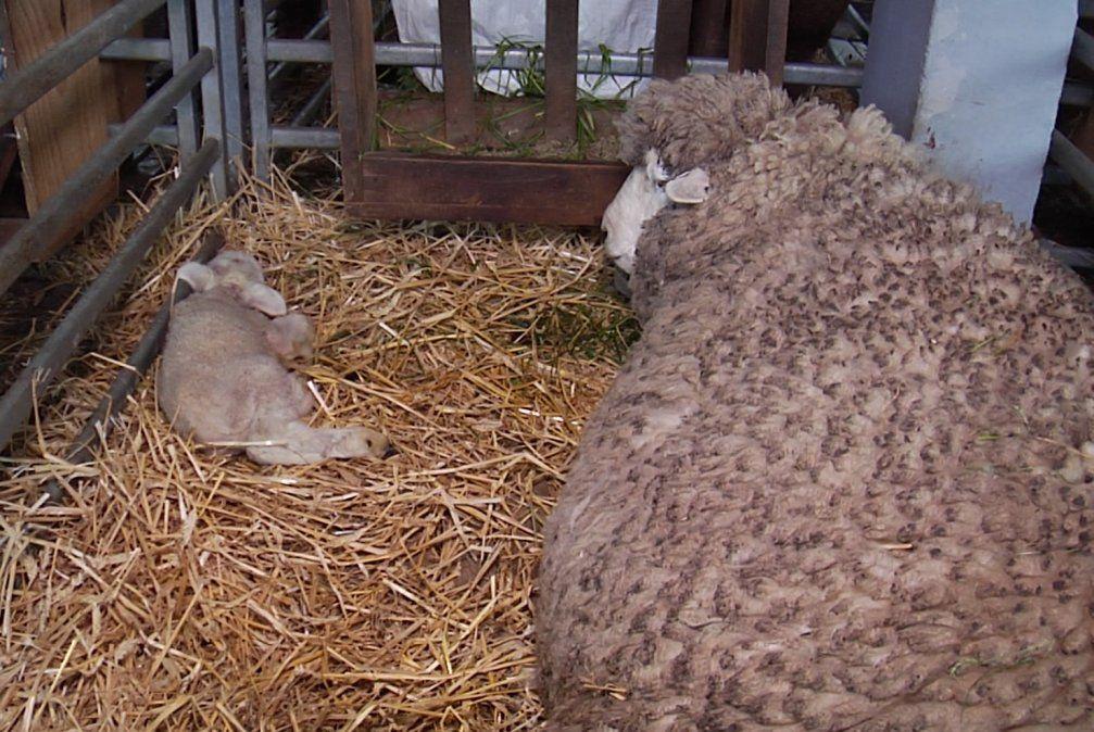 Nacieron los primeros corderos montevideanos de esta edición de la Expo Prado