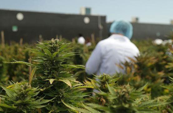 Aurora adquirió uno de los dos permisos para cultivar marihuana en Uruguay