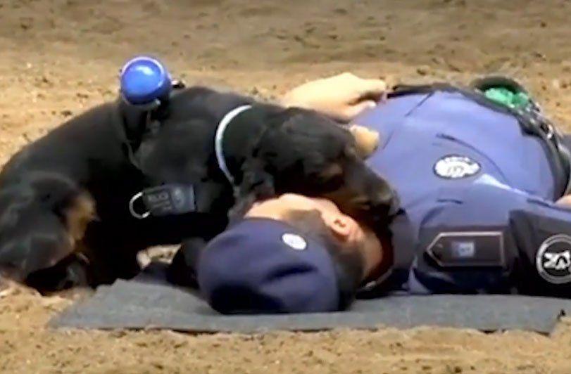 El perro policía que hace reanimación cardiopulmonar
