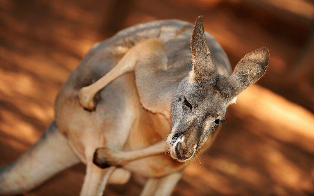 Un canguro ataca ferozmente y hiere a una familia en Australia