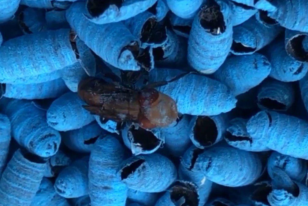 Liberan moscas fucsias y azules fluorescentes para erradicar el mal de la bichera