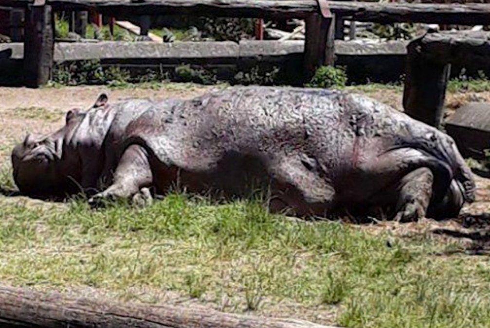 Hospital Maciel detectó bacteria estreptococo en la hipopótama de Villa Dolores