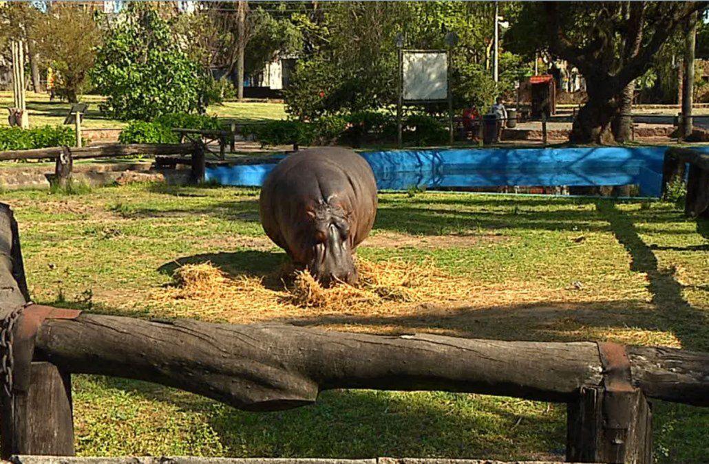Murió Clorinda, la hipopótama de Villa Dolores