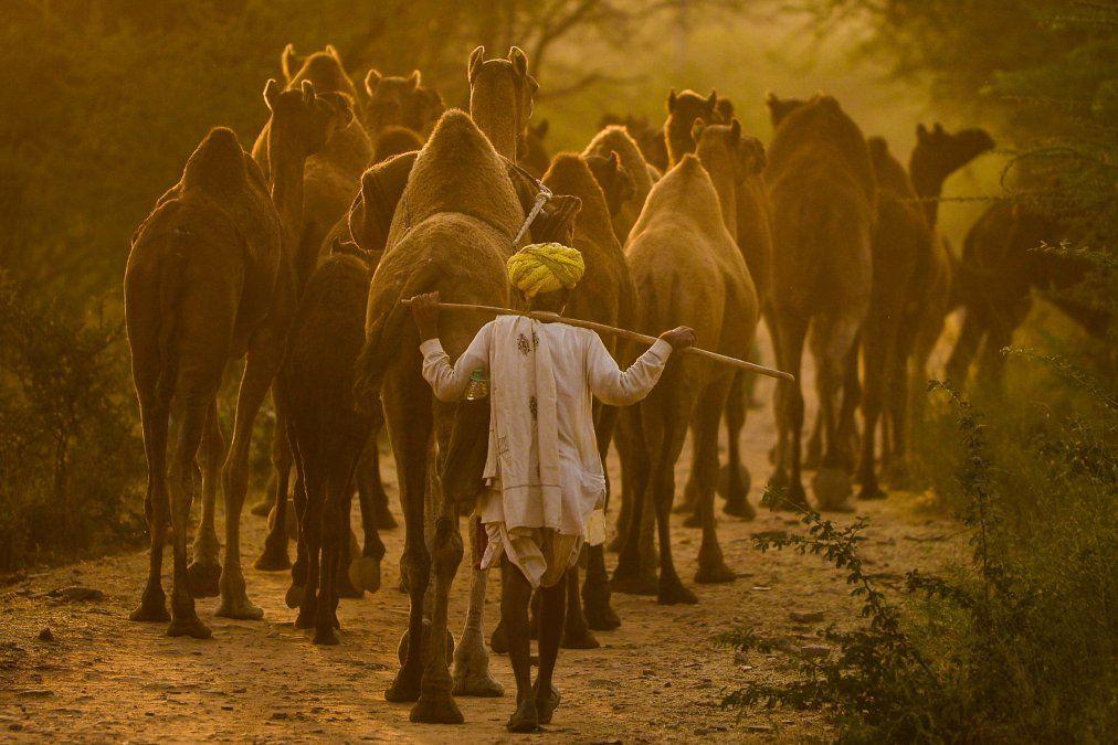 Un pastor de camellos camina tras los animales en Pushkar