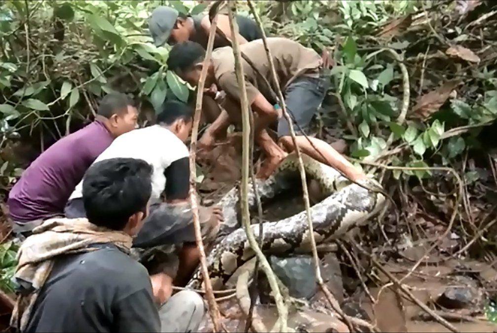 La lucha entre un grupo de indonesios y una pitón gigante