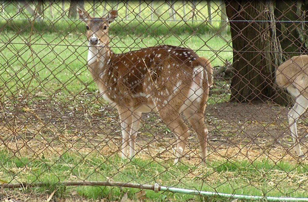 Encontraron a los 40 ciervos que se escaparon del Parque Lecocq