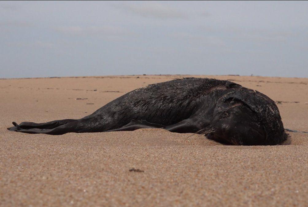 Aparecieron 80 lobos marinos muertos en la playa cerca de José Ignacio