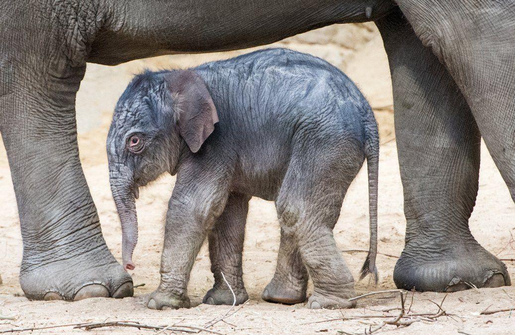 Un elefante bebé camina junto a su madre en el zoológico Hagenbecks Tierpark en Hamburgo