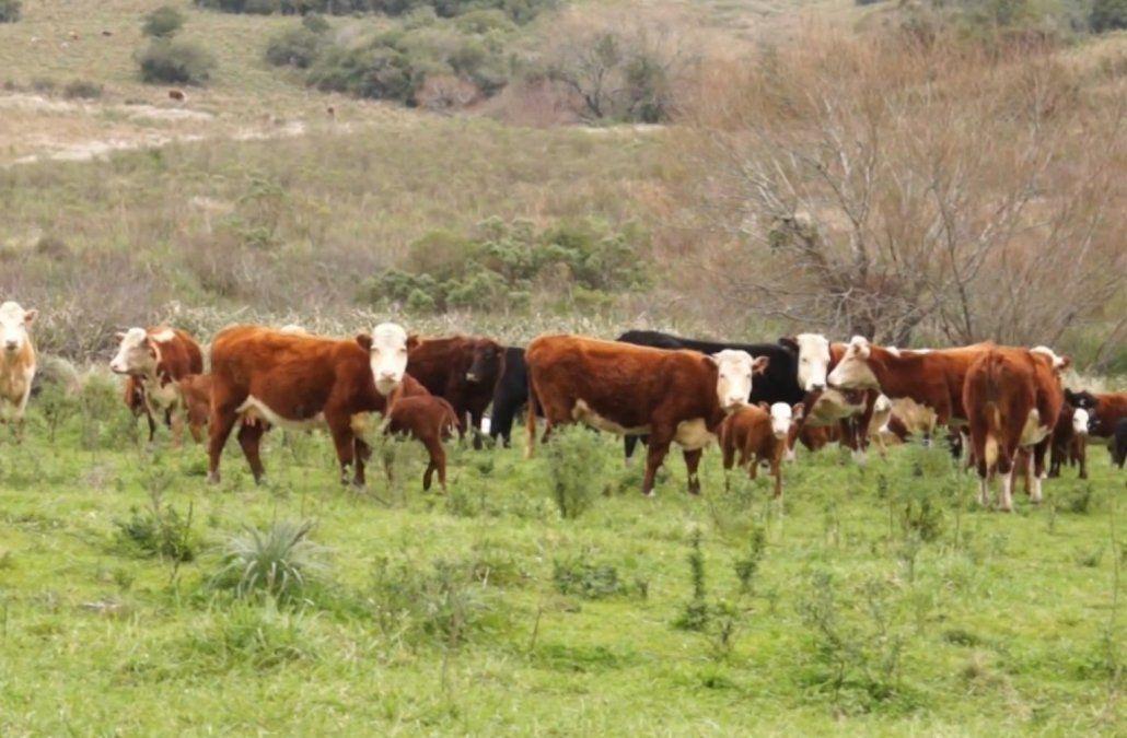 Ocho empresarios fueron imputados por el robo de 300 vacas en Rocha