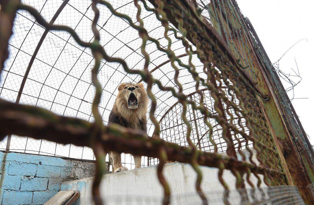 Entró a la jaula de los leones y murió atacado por uno de los animales