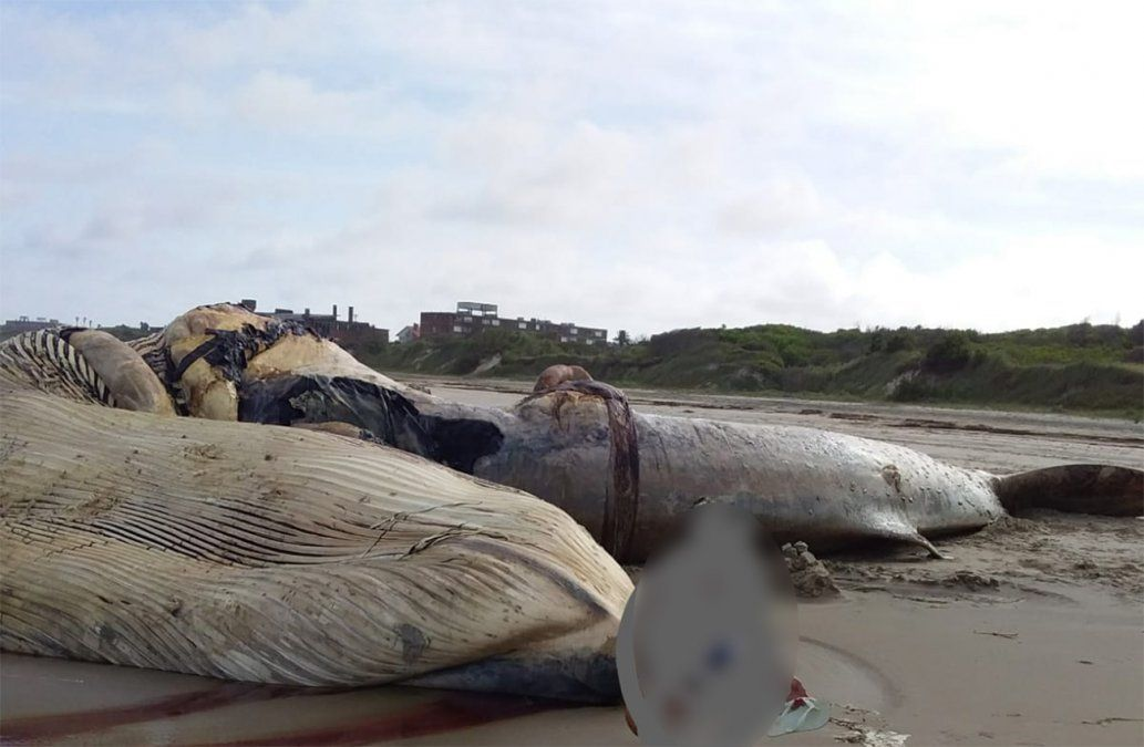 Una enorme ballena aparece muerta en la Coronilla