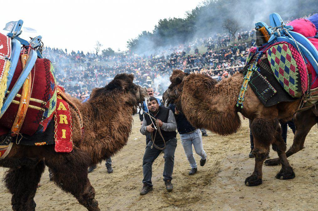 La gente trata de impulsar a los camellos a la pelea durante el festival de lucha de camellos en el pueblo de Selcuk