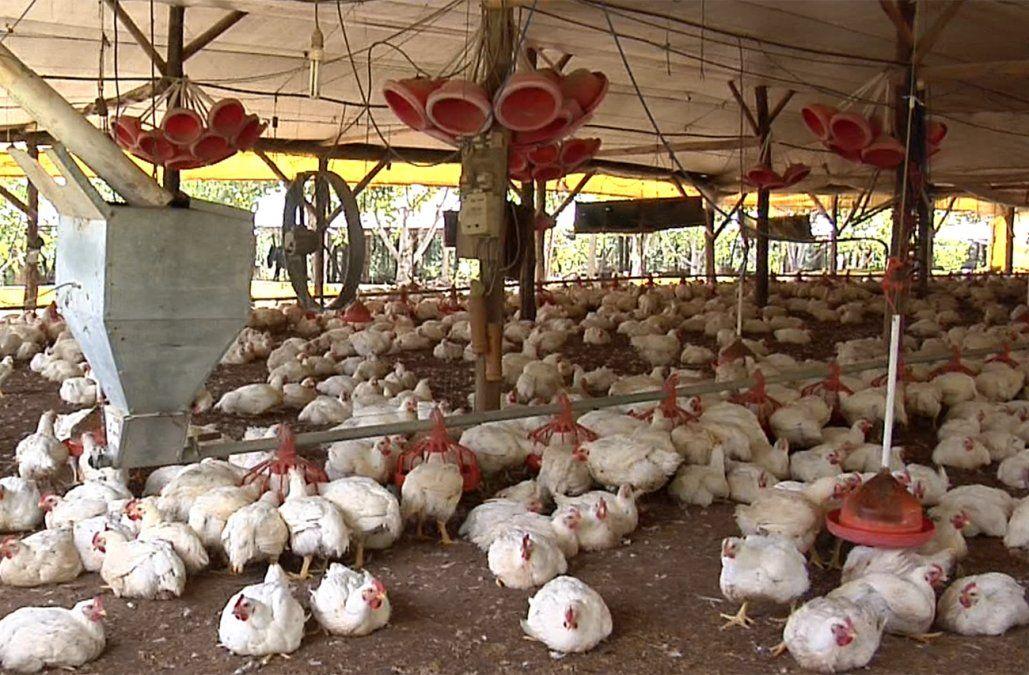 Más de 80.000 pollos murieron por ola de calor de los últimos días