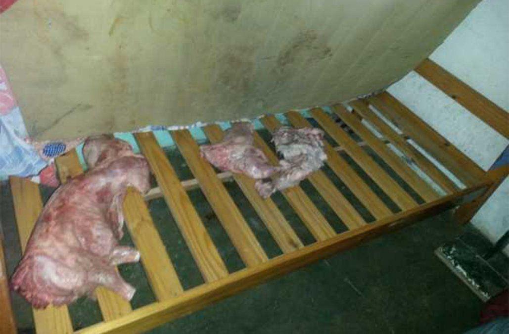 Robaron 7 lechones, los faenaron y escondieron debajo de los colchones
