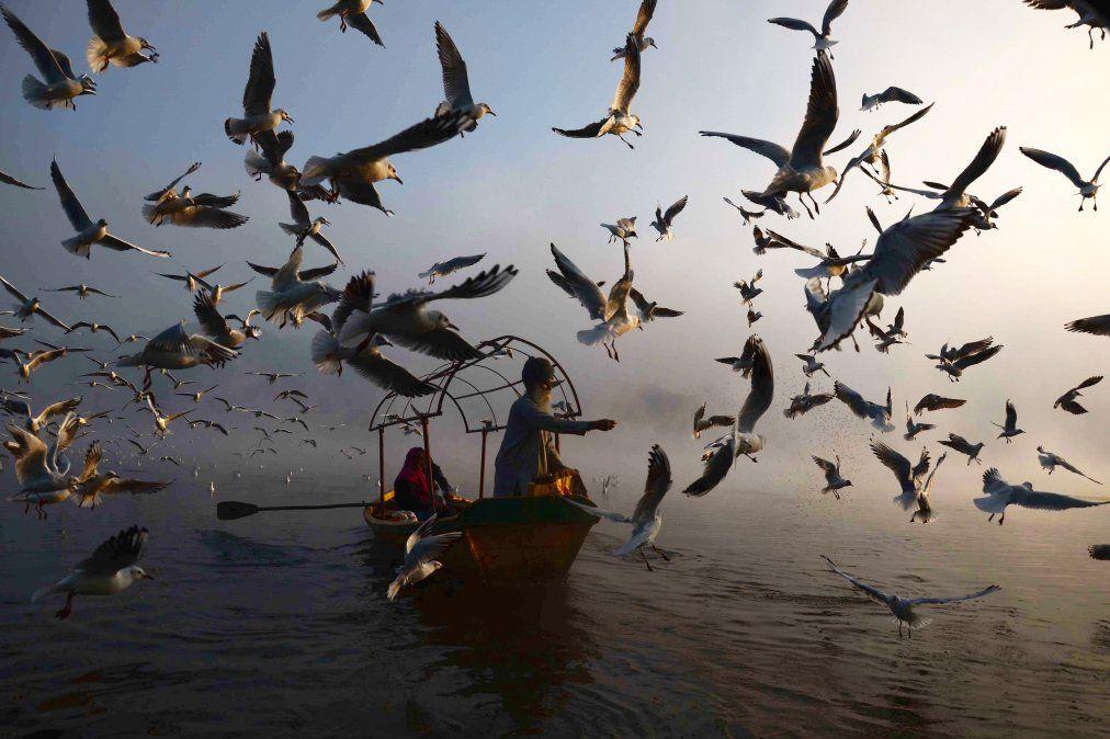 Un hombre indio alimenta gaviotas migratorias en el rio Narmada en Jabalpur.