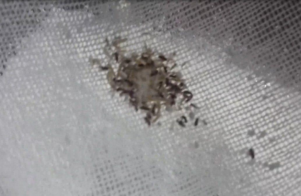 Bromatología advierte por la posible aparición de gorgojos en los alimentos