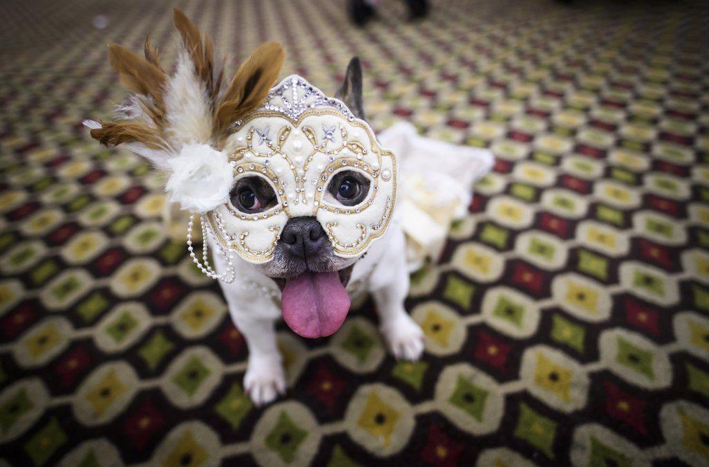 Un perro disfrazado para un espectáculo se sienta detrás del escenario en la 16a edición anual del Nueva York Fashion Week