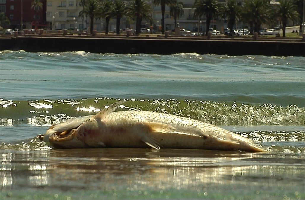 Con las cianobacterias, cae venta de pescado en Montevideo