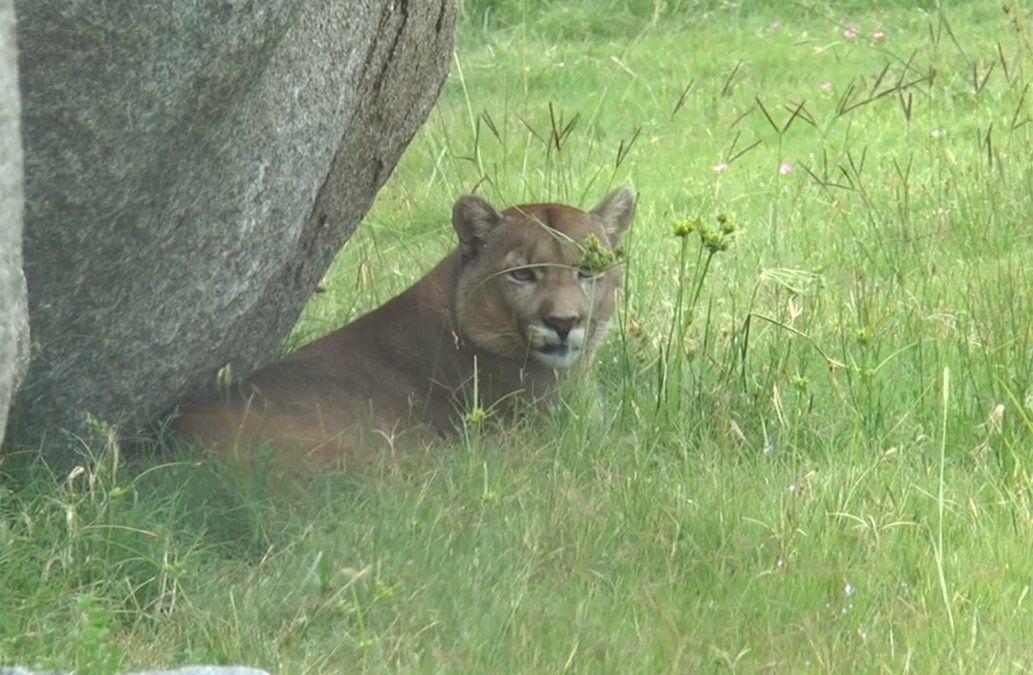 Nacieron dos tigres y llegaron tres pumas desde Argentina a Bioparque en Durazno