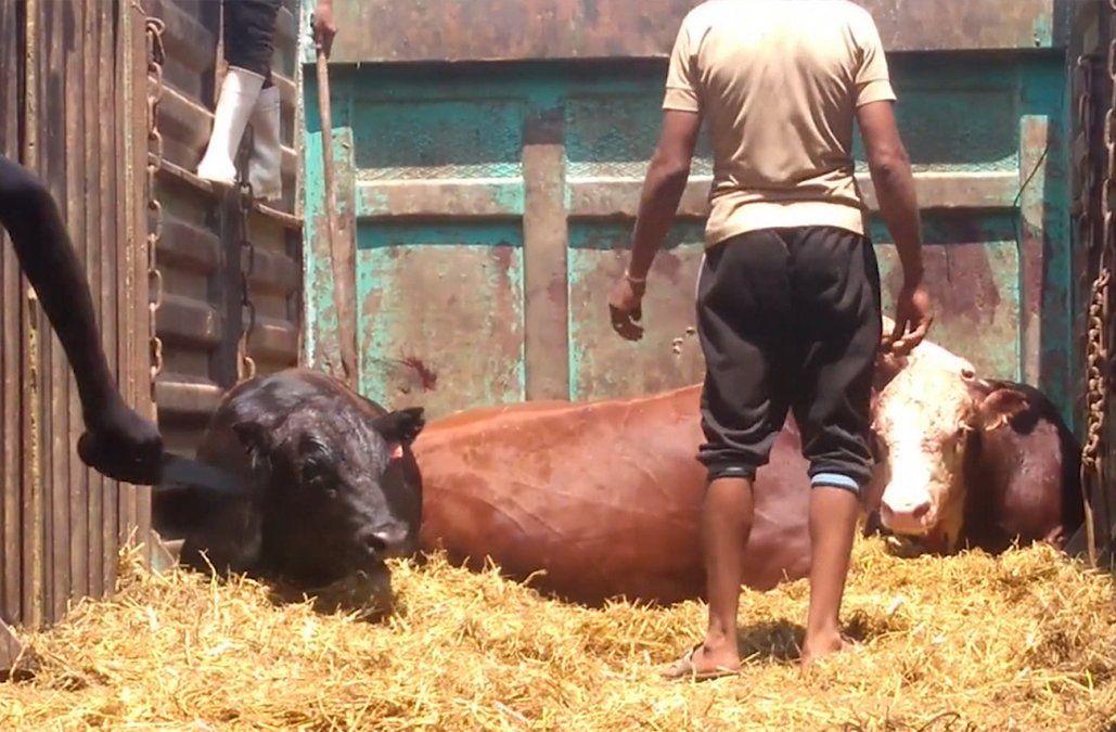 Organización animalista denuncia maltrato a ganado uruguayo en pie exportado a Egipto