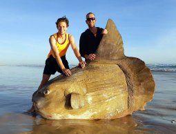 Encontraron un pez luna gigante encallado en una playa de Australia