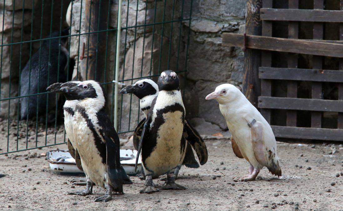 Presentan un insólito pingüino albino en un zoo de Polonia