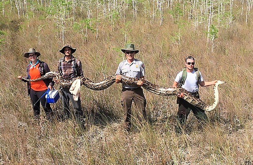 Capturan una pitón de más de 5 metros y 64 kilos en Florida, Estados Unidos