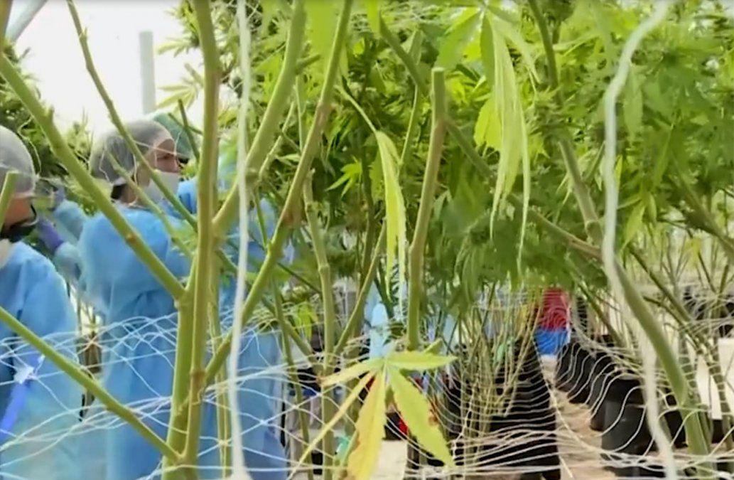 Preparan primera exportación de cannabis medicinal producido en Uruguay