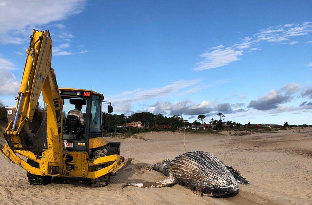 Una ballena jorobada apareció muerta en Playa Verde