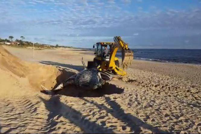 Enterraron a la ballena jorobada que apareció muerta en la costa de Playa Verde