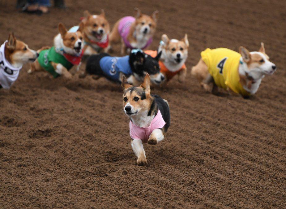 Una carrera de perros Corgi en el sur de California.