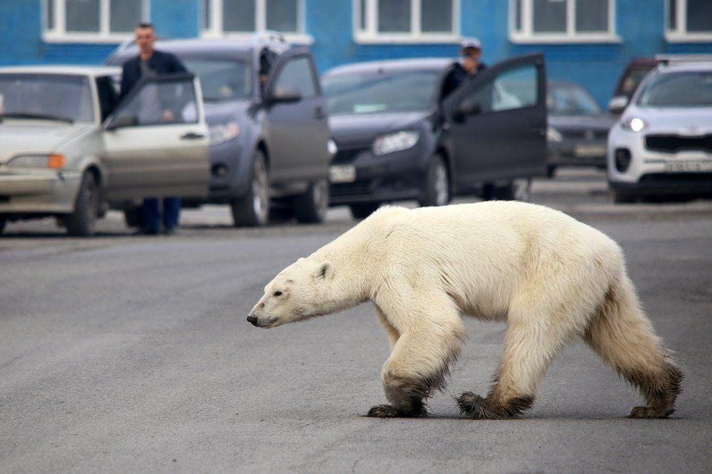 Un oso polar hambriento camina por la calle en las afueras de la ciudad industrial rusa Norilsk