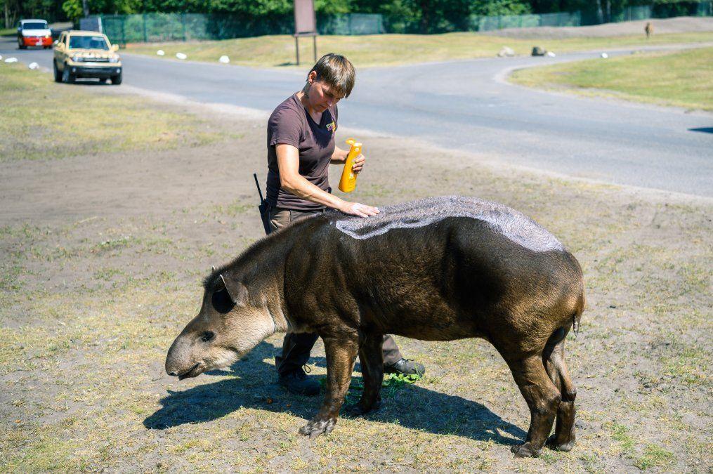 Una cuidadora de animales pone crema solar en la piel de un tapir en el parque Serengeti de Alemania