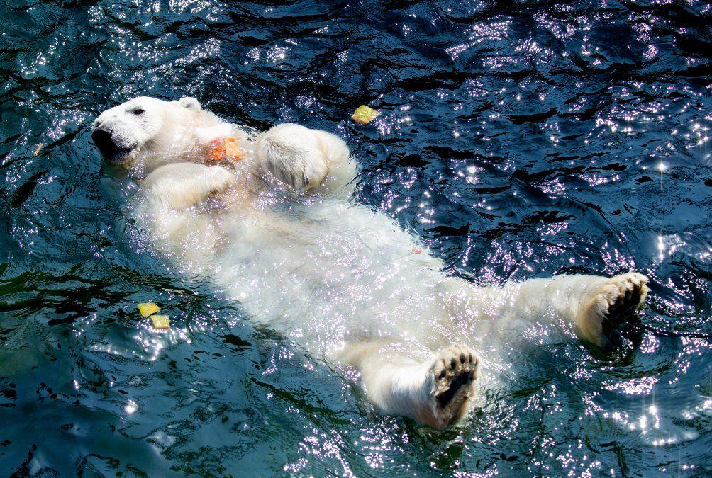 La osa polar Milana toma un baño en su piscina en el zoológico de Hanover