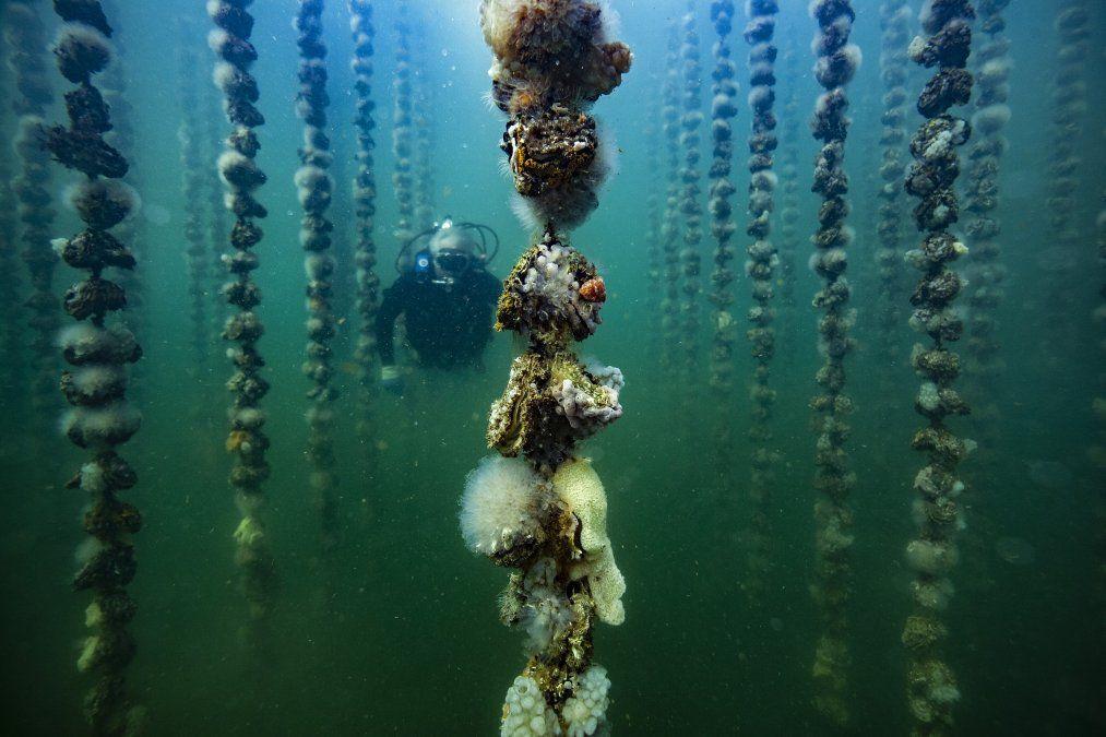 El acuicultor francés Jean Christophe Cabrol comprueba el crecimiento de ostras cubiertas con chorros de mar