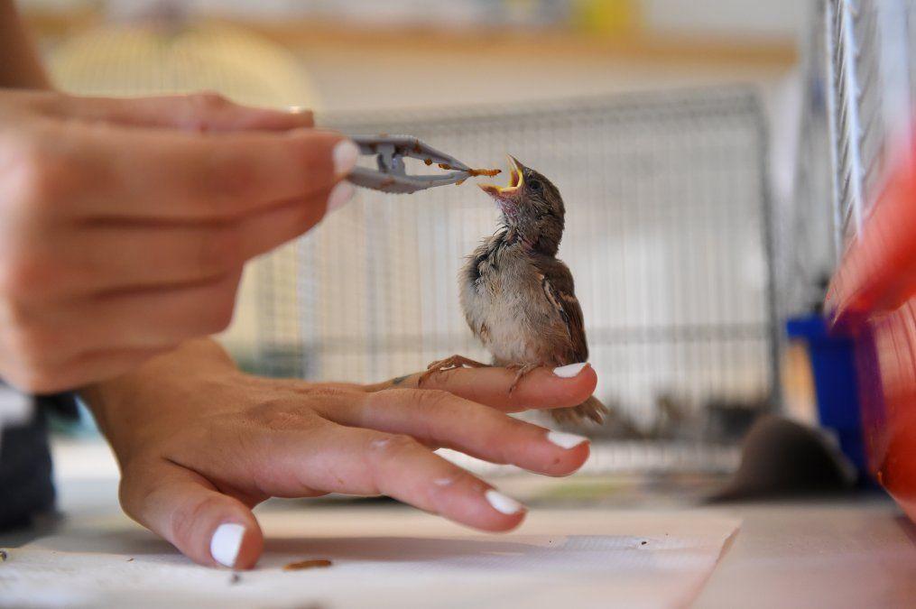 Un voluntario de la asociación Goupil alimenta con pinzas a un pequeño pájaro en el hospital de vida salvaje de Laroque