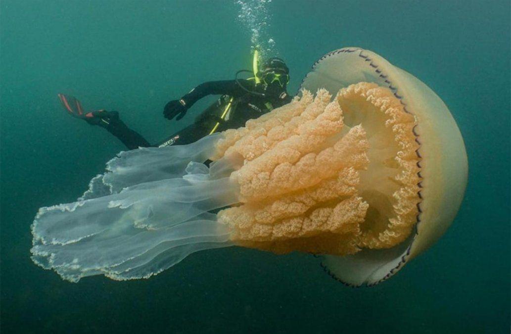 Una medusa gigante del tamaño de un hombre fue encontrada en la costa de Reino Unido
