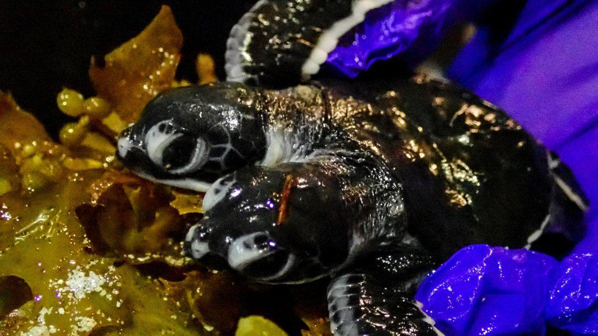 Una foto de Scuba Junkie S.E.A.S muestra una tortuga de dos cabezas en la isla de Borneo