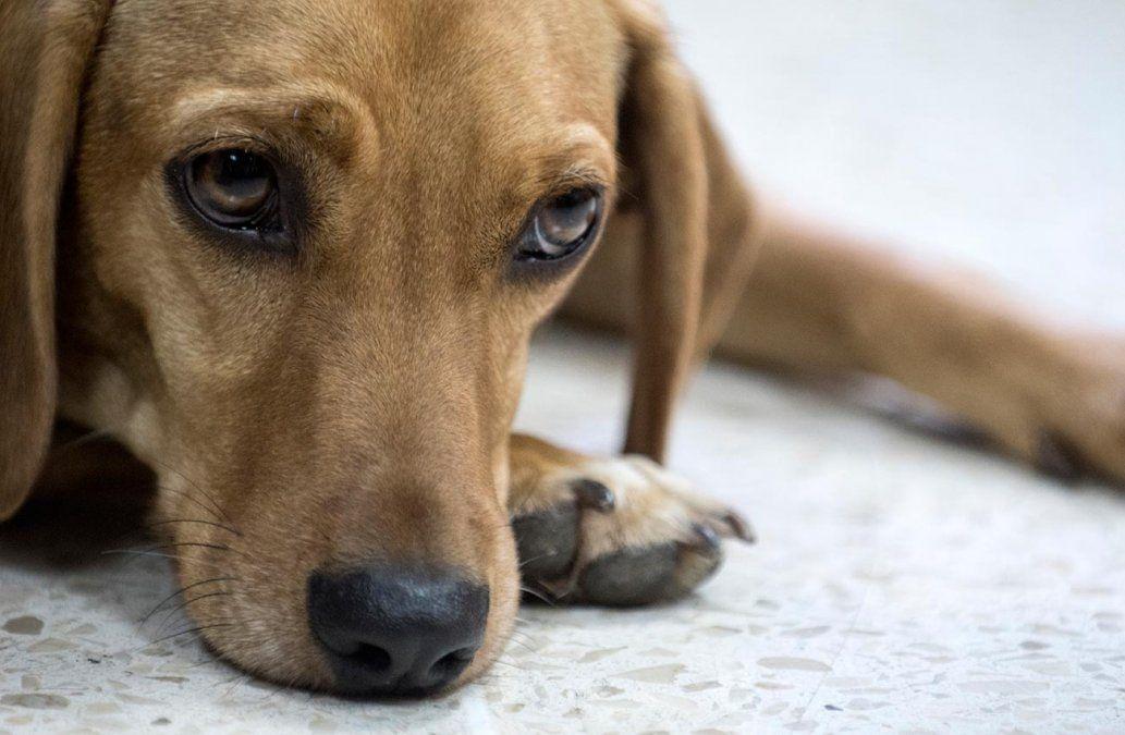 Un perro asiste a un juicio como víctima de maltrato por primera vez en América Latina
