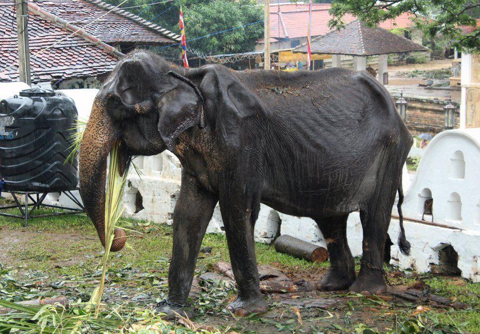 Un demacrado elefante de 70 años se alimenta en la ciudad de Kandy luego de un debate en las redes por el uso de un animal en estas condiciones para los desfiles