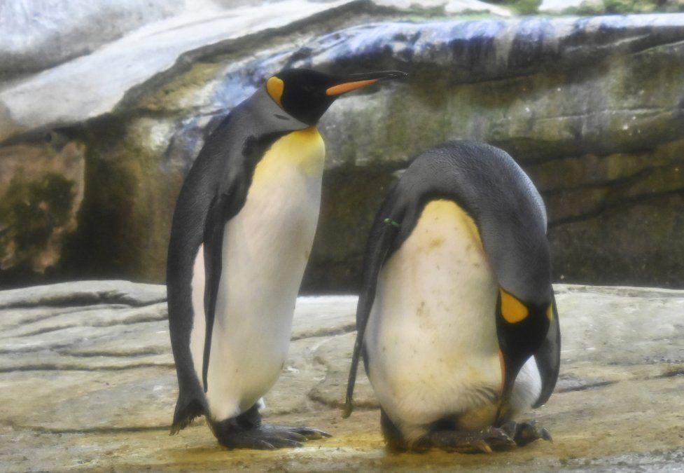 Dos pingüinos cuidan un huevo de otra pareja que los cuidadores del zoológico les dieron para incubar en su recinto