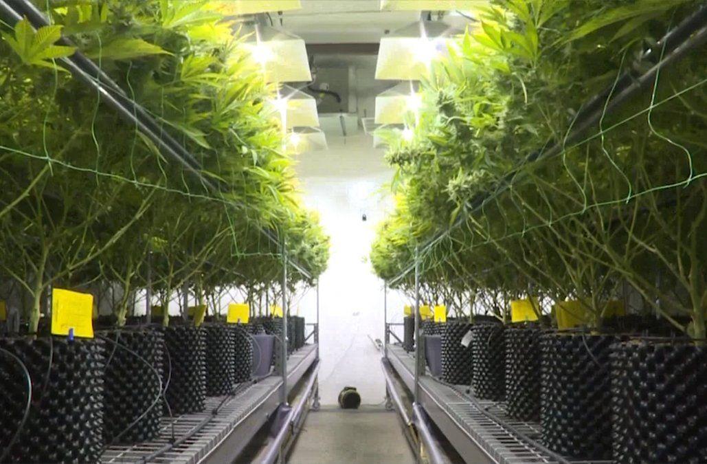 Cannabis medicinal: empresas piden acelerar aprobación del MSP y denuncian bloqueo financiero