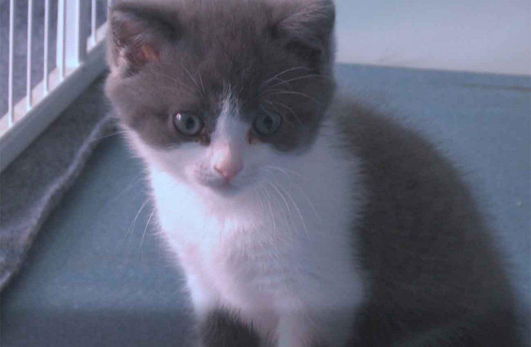 Ajo, el primer gato clonado en China