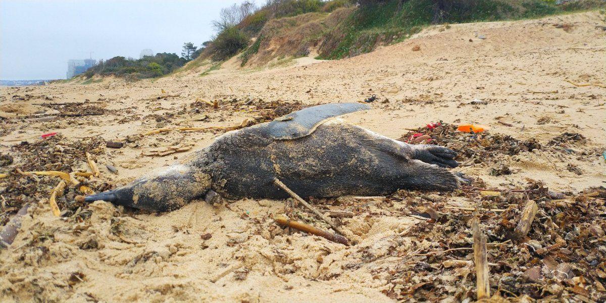 En la playa Mansa de Punta del este aparecieron pingüinos muertos