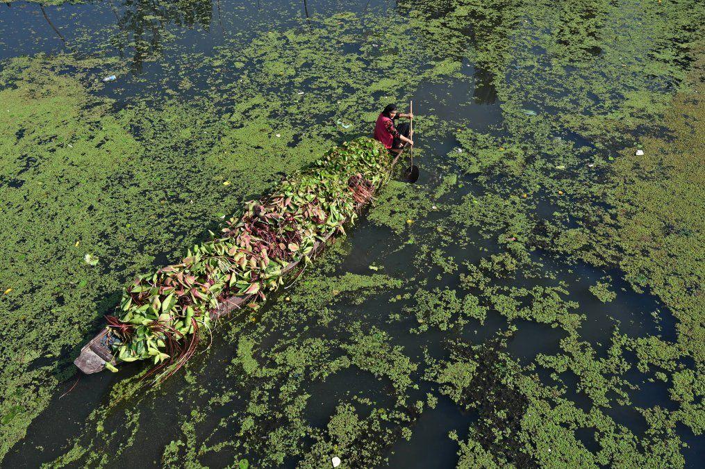 Una mujer se dirige en un bote shikara mientras lleva raíces de loto para alimentar al ganado en el lago Dal en Srinagar.