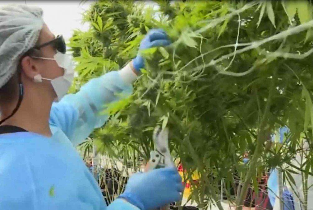La empresa Fotmer Life concretó la primera exportación de Cannabis Medicinal